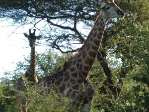 PAR gyvūnija_žirafos