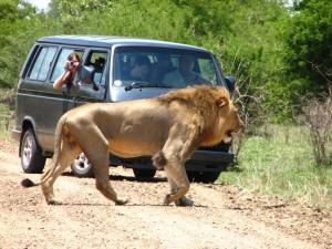 liūtas Kriugerio nacionaliniame parke
