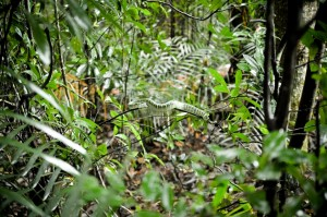 Malaizija - gyvate dziunglese