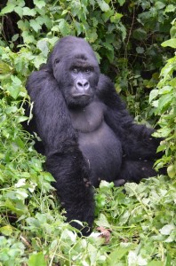 Kongo demokratine respublika. Gorila